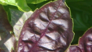 Green edge of purple basil leaf