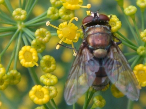 Fly on Dill Flowers