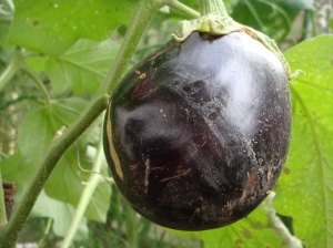 First Eggplant